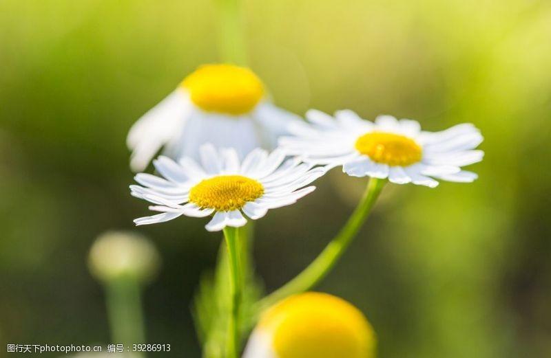 陶菊菊花图片