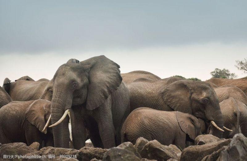 嬉戏大象图片