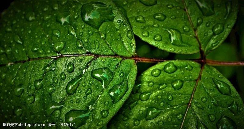 树叶雨滴图片