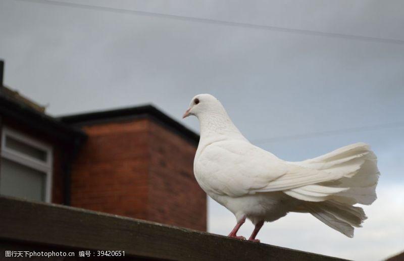 鸟类白鸽图片