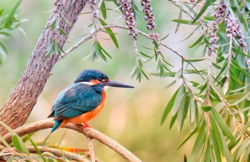 鸟类翠鸟图片