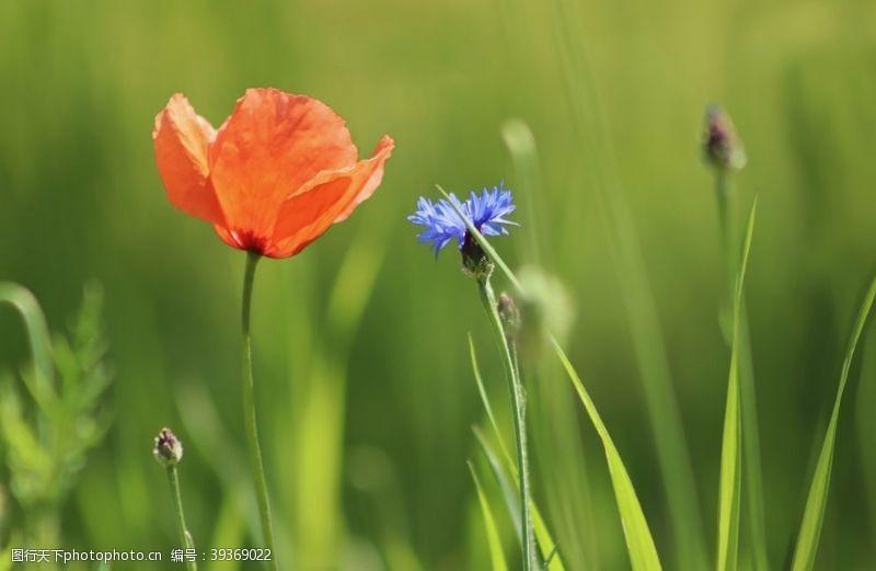 漂亮的花朵漂亮的矢车菊鲜花图片