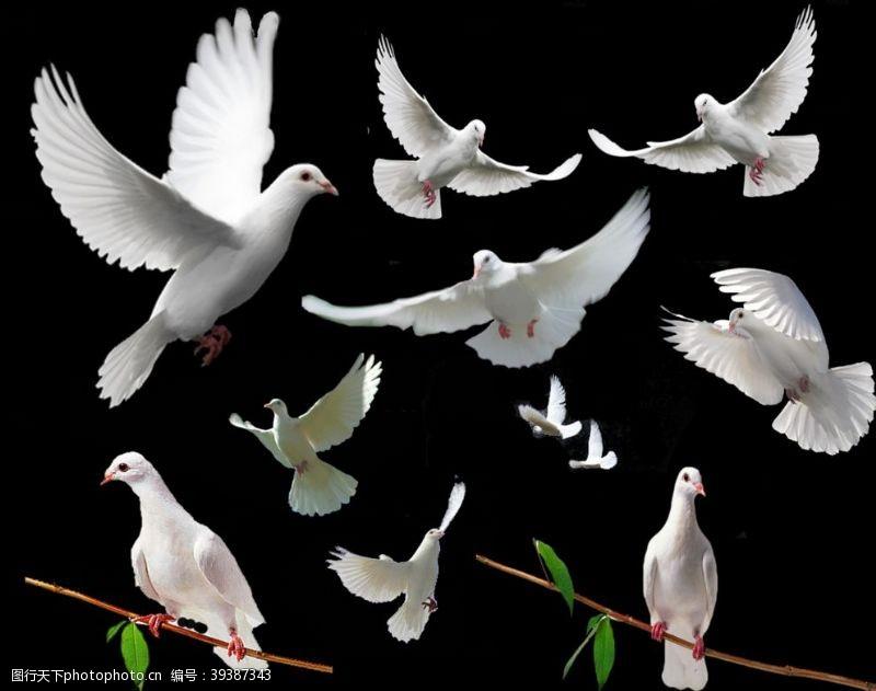 鸽子飞翔的和平鸽图片
