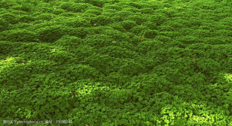 绿色背景四叶草图片