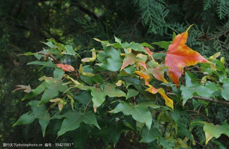 枫叶彩叶风景图片