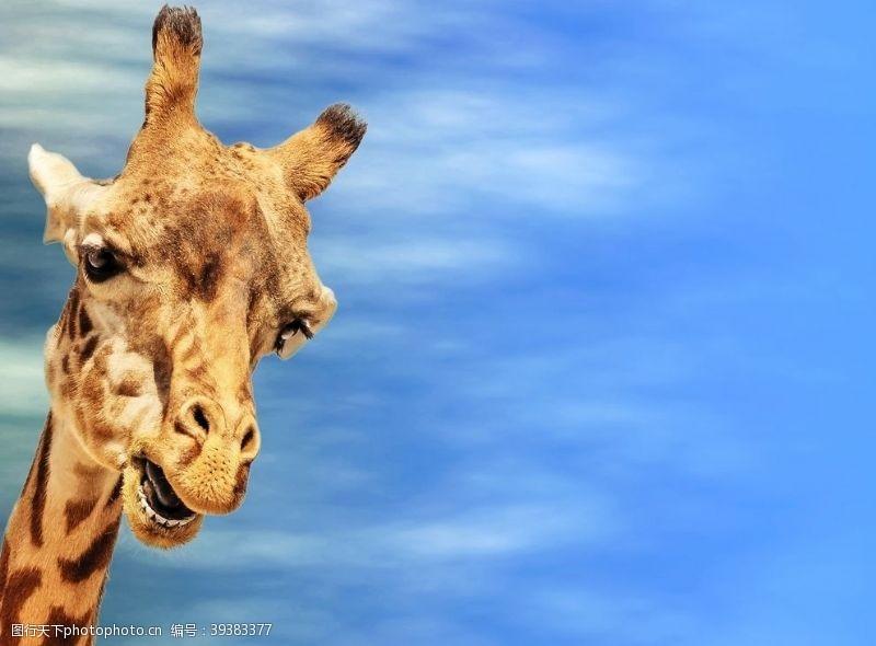 嬉戏长颈鹿图片