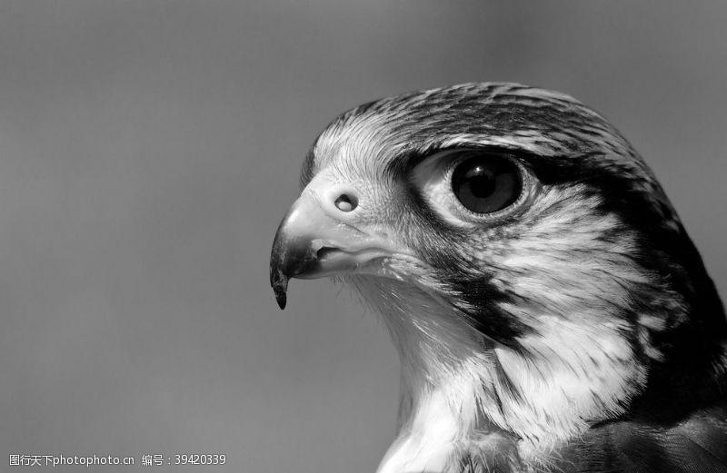 印刷老鹰图片