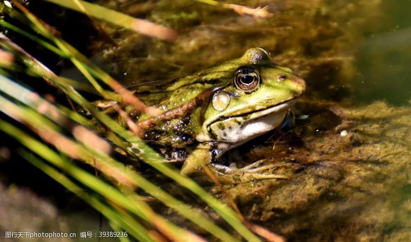 青蛙王子青蛙图片