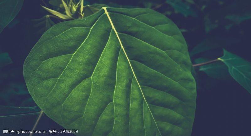 黑色背景一片卵圆形的绿叶图片