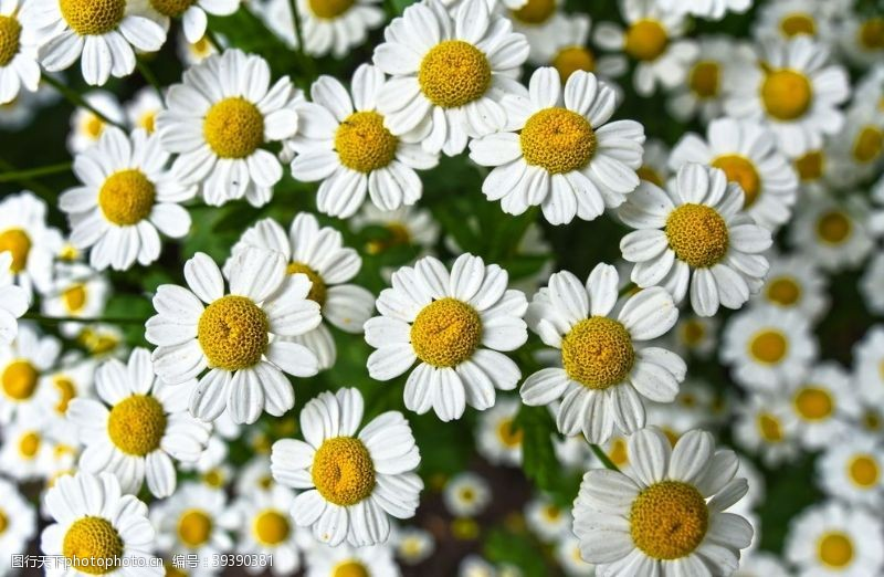 暖场活动菊花图片