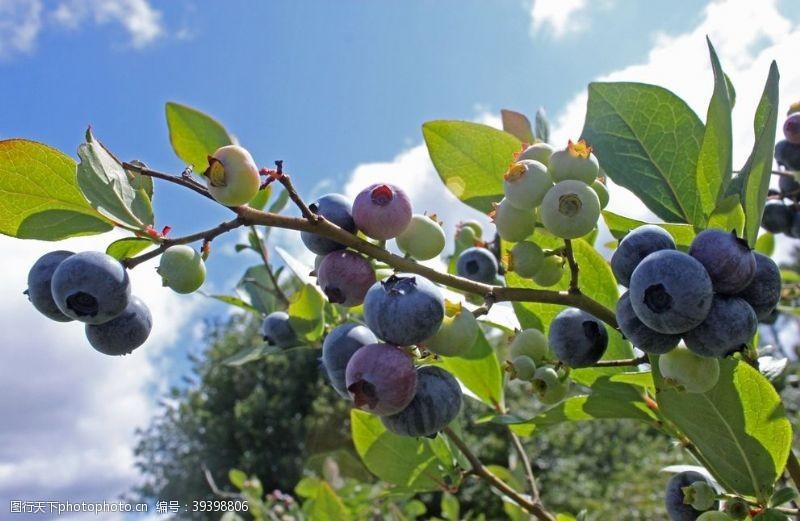 产品蓝莓树图片