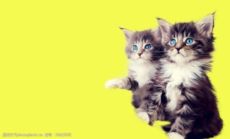 蓝眼睛猫咪图片