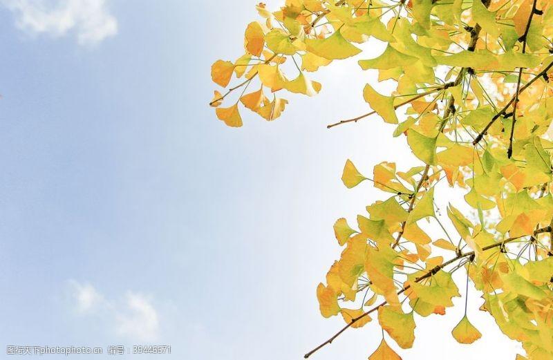 春意阳光下的银杏树图片