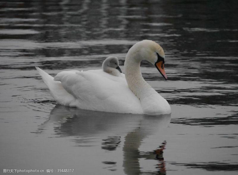 爱情白天鹅图片