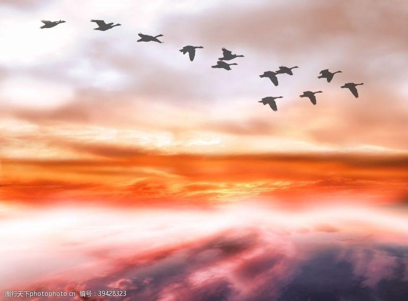 鸟类大雁图片
