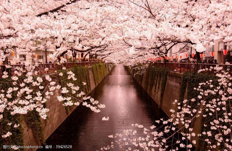 日本东京樱花图片