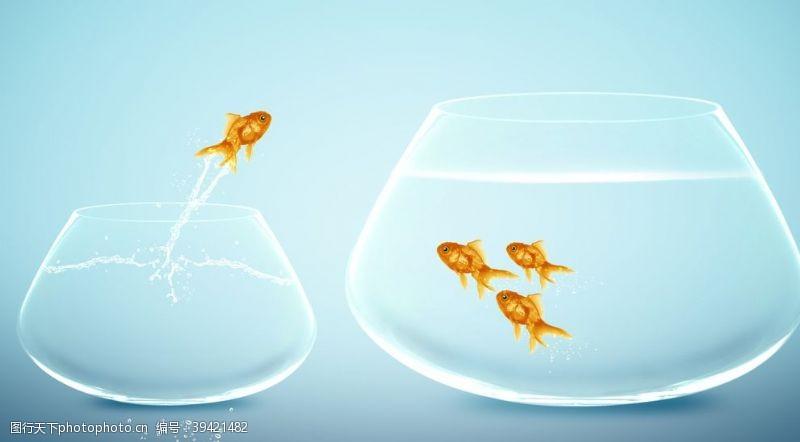 红金鱼金鱼图片