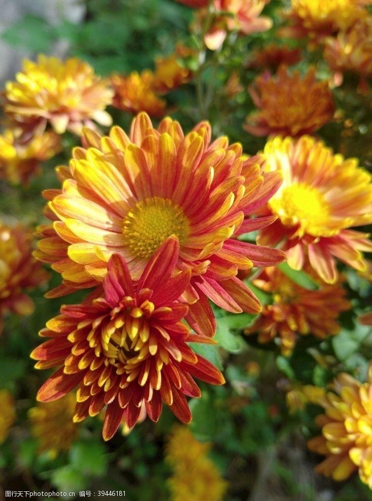 花丛菊花图片