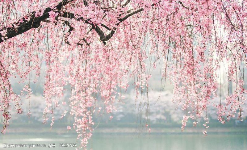 日本浪漫樱花串图片