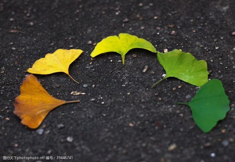 感受银杏树叶图片