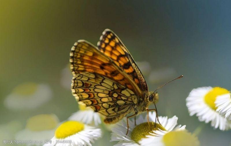 翅膀蝴蝶图片