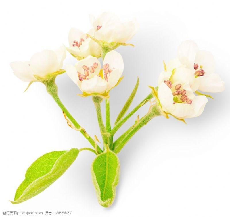 鸭梨梨花图片