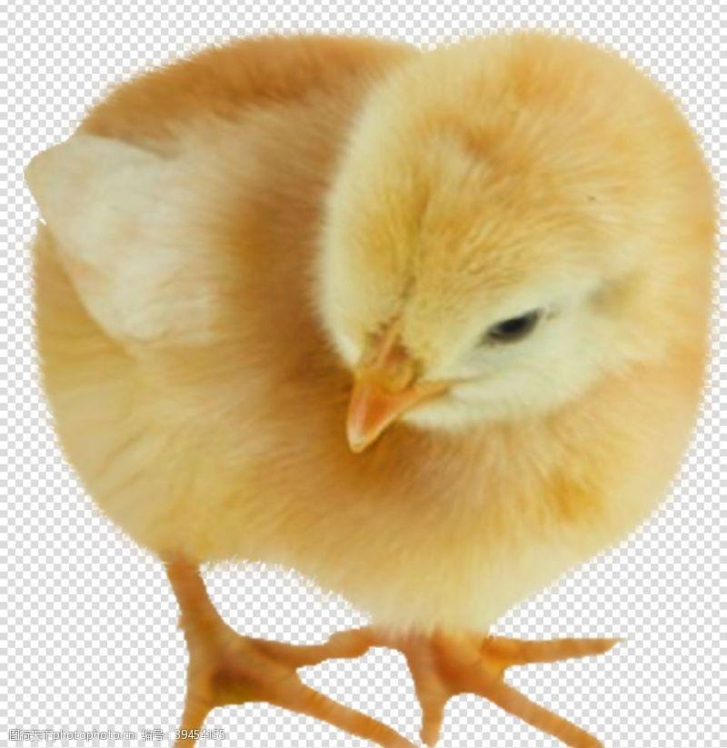 小鸡鸡小黄鸡鸡鸡透明底图片