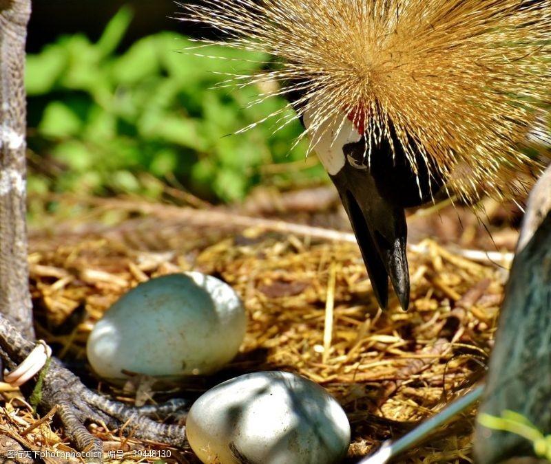 灰冠鹤图片