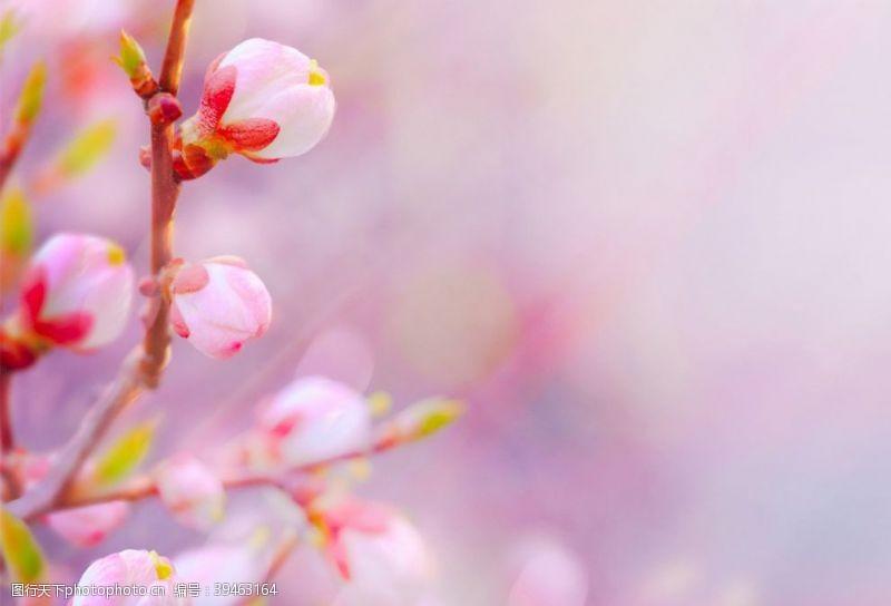赏花桃花花苞图片