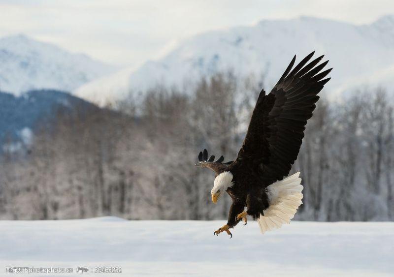 雄鹰凶猛的白头鹰图片