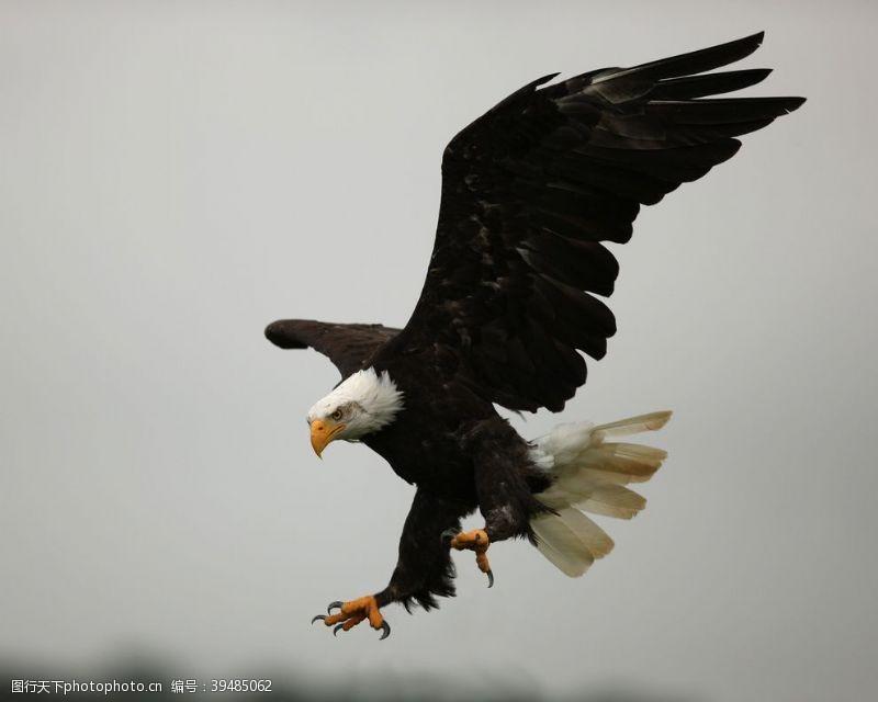 雄鹰白头鹰摄影图片
