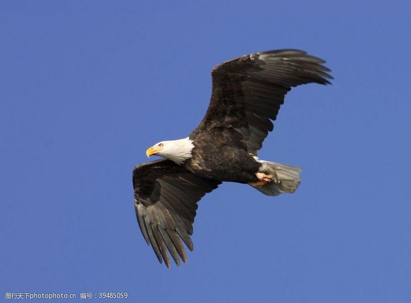 翱翔中的雄鹰图片