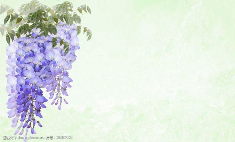 赏花朱藤图片