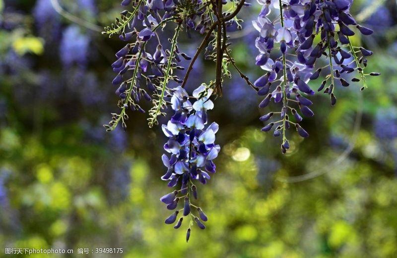 赏花紫藤图片