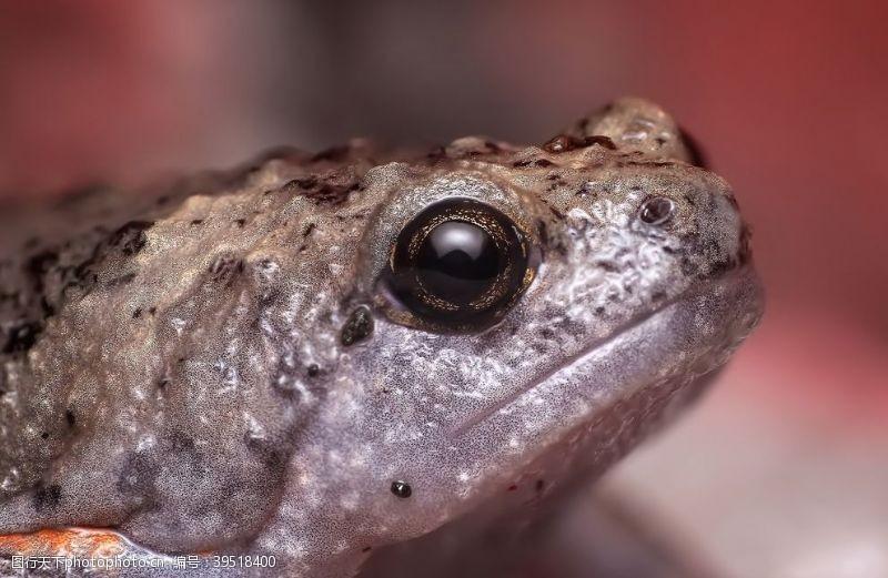 青蛙王子蟾蜍图片