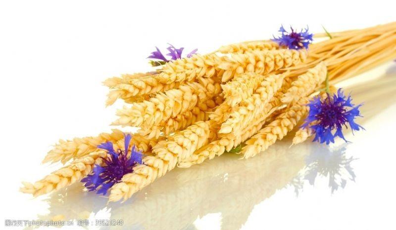 麦穗小麦图片