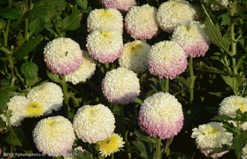 寿客菊花图片