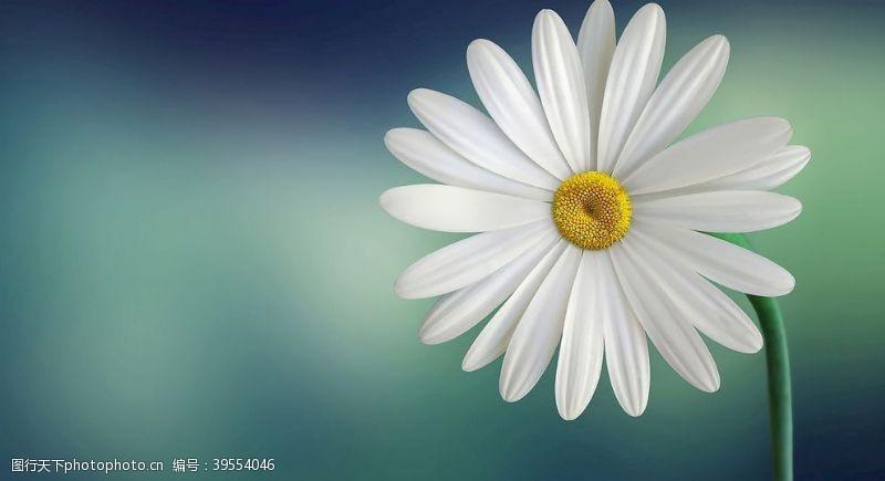 春天的背景白色花朵图片