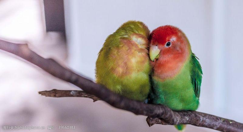 绿色爱情鸟树枝鹦鹉鸟图片