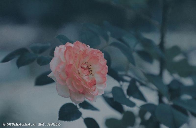 其他生物玫瑰花图片