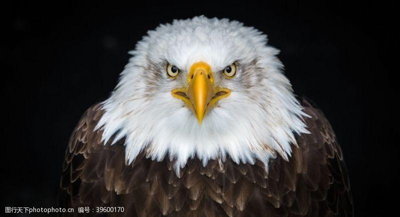 雄鹰鹰图片
