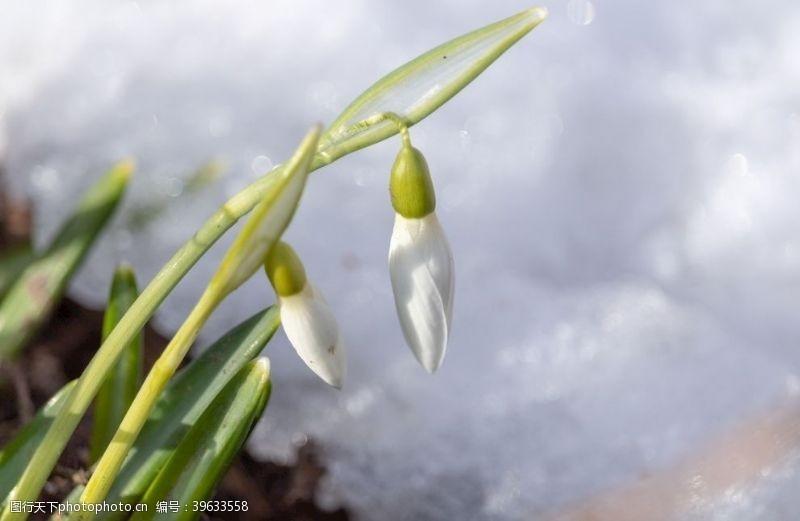 清新的雪花莲图片