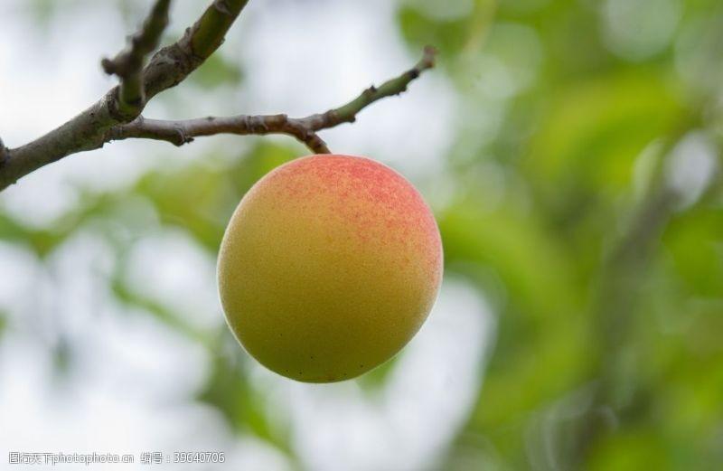 仙桃水蜜桃图片