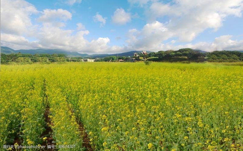 海蓝天蓝天白云下的油菜花海图片