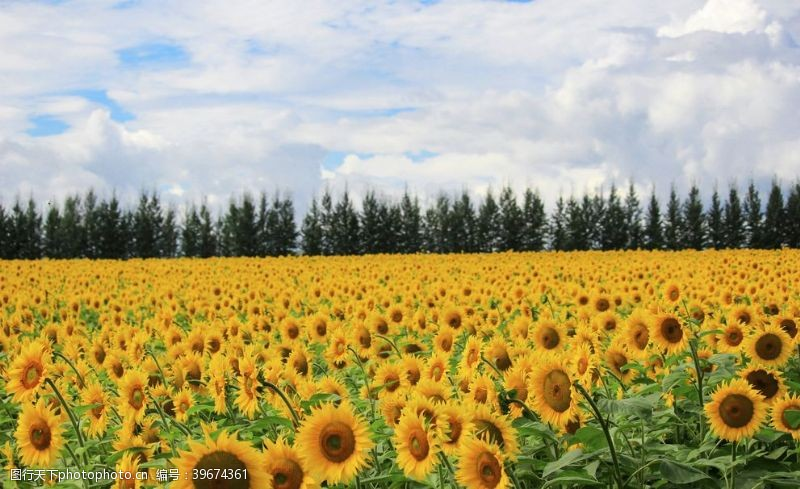 海蓝天唯美向日葵花海图片