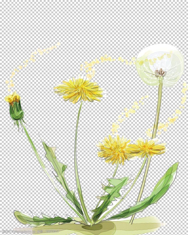 植物蒲公英蒲公英图片