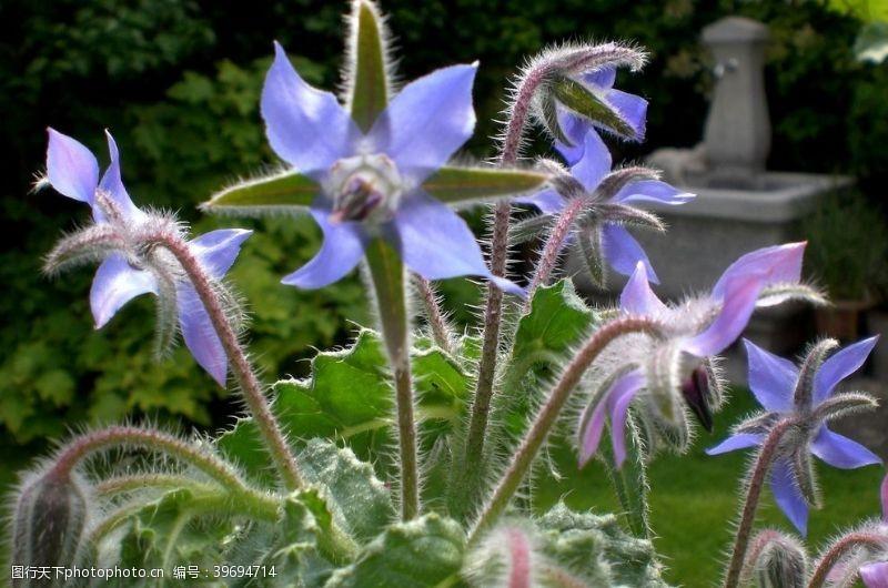 干花琉璃苣图片