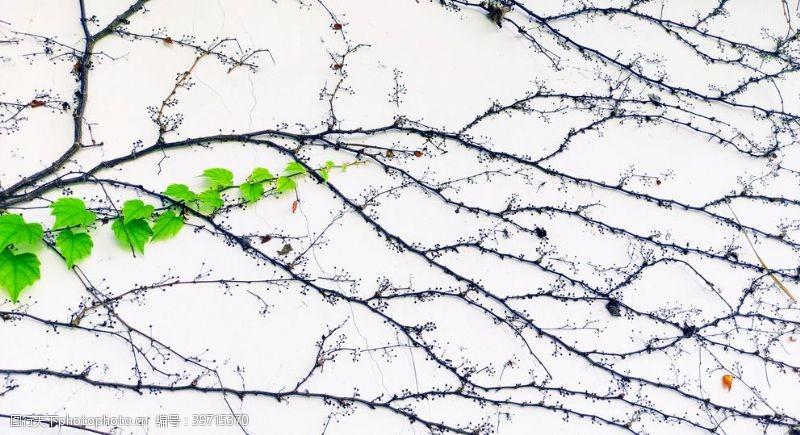 绿叶藤墙图片