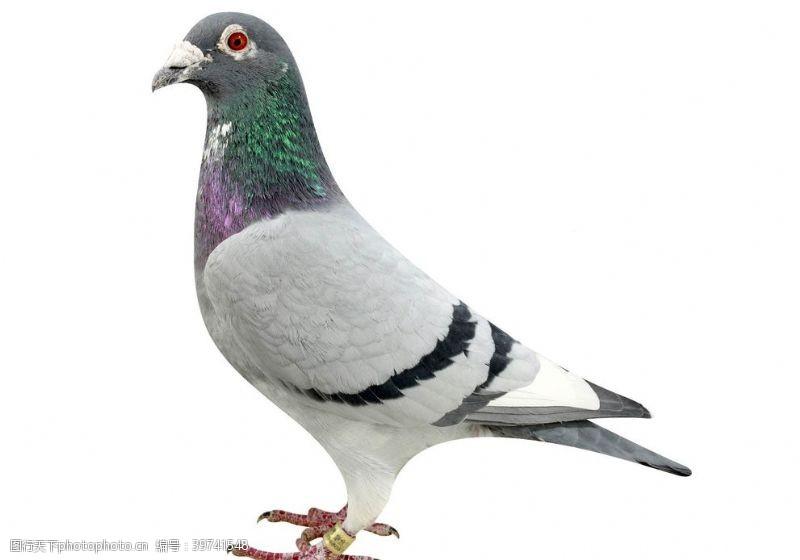 飞鸽信鸽图片