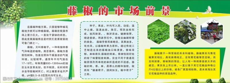 青花椒花椒藤椒展板图片